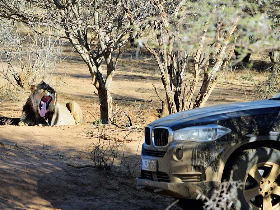 Wer brüllt hier mehr: der Löwe oder der BMW X5?