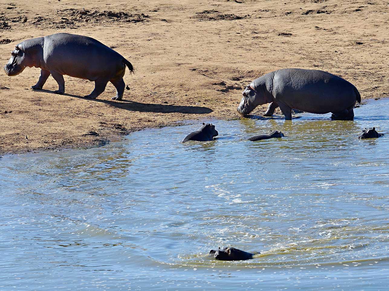 Flusspferde beim Baden.