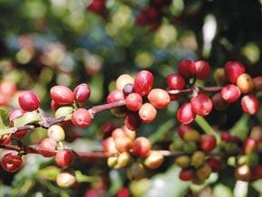 Rot wie eine Kirsche: So sieht die Arabica-Bohne aus, bevor sie geerntet und getrocknet wird.